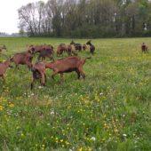 Les chèvres de Babeth