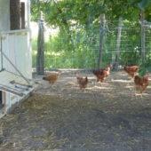 Les poules de la Cussonnerie