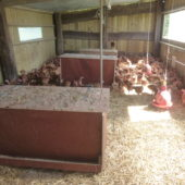 Les jeunes poules dans leur cabane