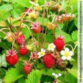 Plant bio de fraises des bois Baron Solemacher - Pépinière Terre d'Ô