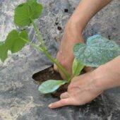 Plant bio de melon charentais - Pépinière Terre d'Ô