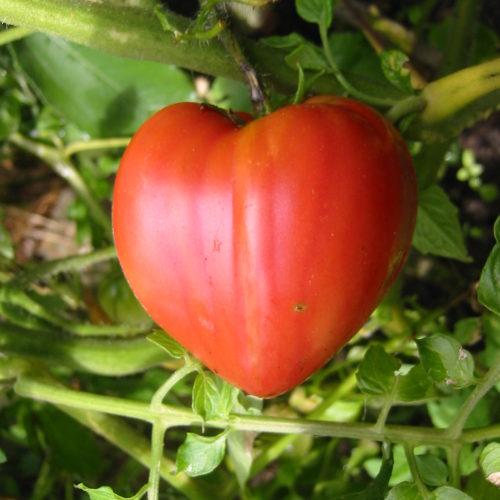 Plant bio de tomate cour de boeuf - Pépinière Terre d'Ô