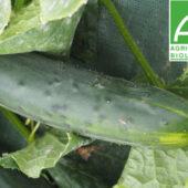 Concombre vert épineux bio - ESAT Montandon