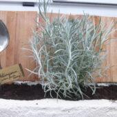 Quand les plantes de Nelly et Gwen enjolivent la devanture du comptoir... helicrysum italicum