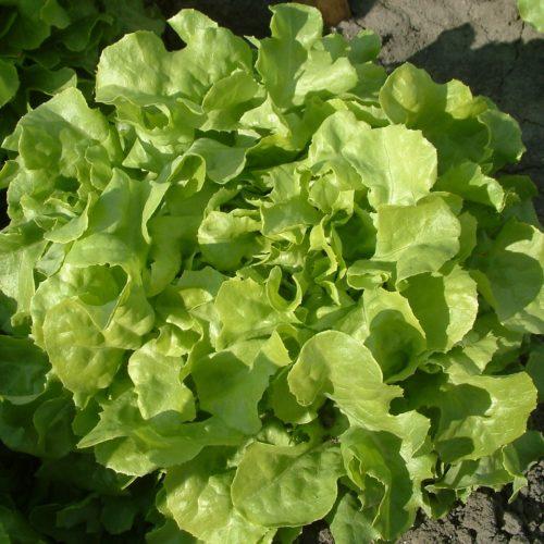 Salade feuille de chêne blond bio