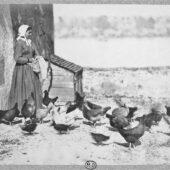 Catégorie volailles