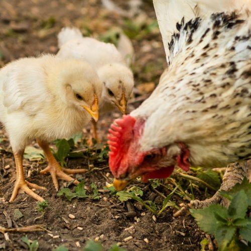 Graines bio pour volailles