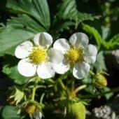 Plants de fraisiers bio - Ferme de la Brunette