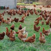 Poules en plein air - La Ferme de l'œuf sur la paille