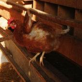 Oeufs pondus dans nids en bois paillés - La Ferme de l'œuf sur la paille