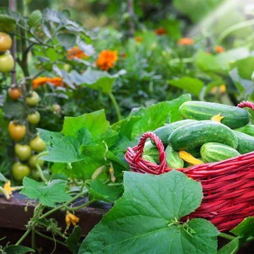 Graines de légumes fruits - Les Graines dans le Vent
