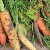 Graines de légumes racines - Les Graines dans le Vent