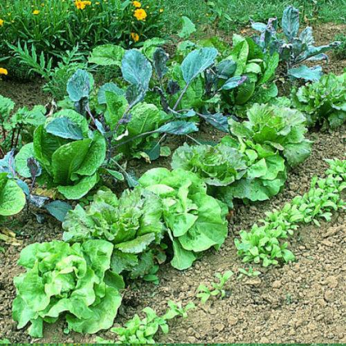 Graines de légumes feuilles - Les Graines dans le Vent