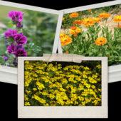 Plant bio de fleurs annuelles - Terre d'Ô