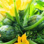Plant bio de courgette ronde de Nice - Terre d'Ô