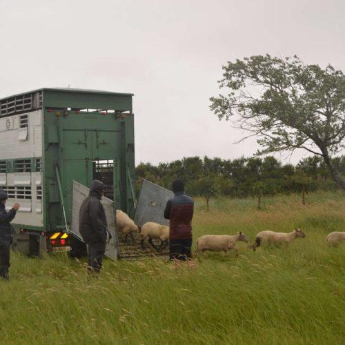Olivier Mitsieno - Elevage d'ovins à Talmont en plein air intégral et agriculture biologique
