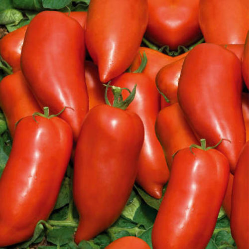 Tomates Cornabel bio - ESAT Montandon