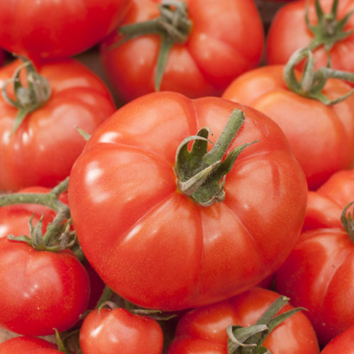 Tomates Maestria bio - ESAT Montandon